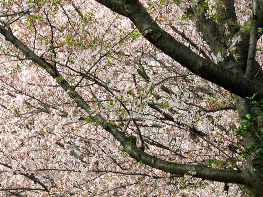 浜田緑地の桜