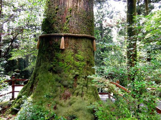 箱根神社 矢立の杉