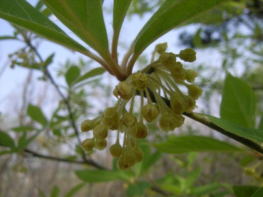 オオバクロモジの花。小さくかわいらしい花を枝の節々につける。