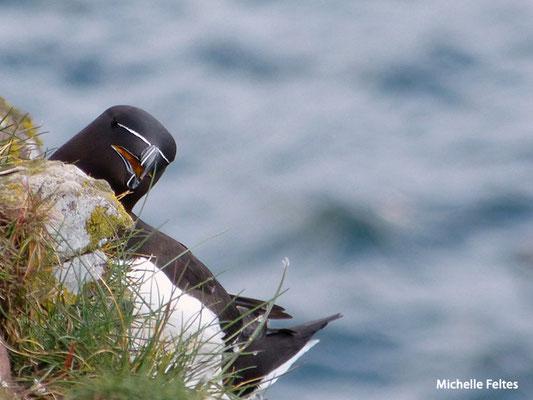 Pingouin torda (Ecosse)