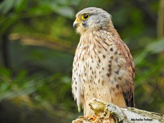 Faucon crécerelle (parc de Noisiel zone humide)