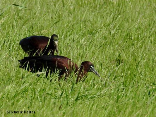 Ibis falcinelle (parc de la Prade à Saint Cyprien)