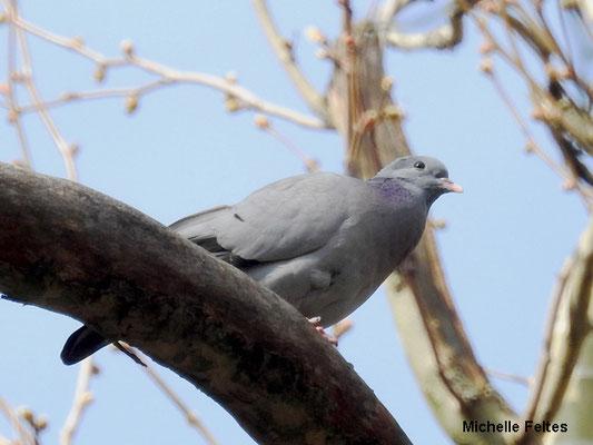 Pigeon colombin (la Poudrerie Sevran)