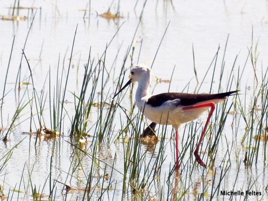 Echasse blanche  (parc naturel de Donana Andalousie)