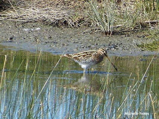 Bécassine des marais (parc ornithologique du Teich)