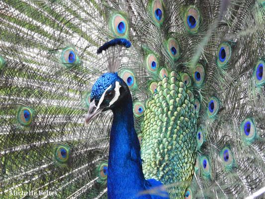 Paon bleu (Sorède)