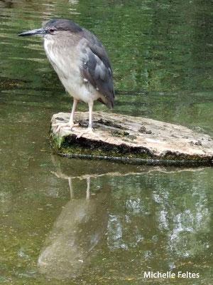 Bihoreau gris (réserve africaine de Sigean)
