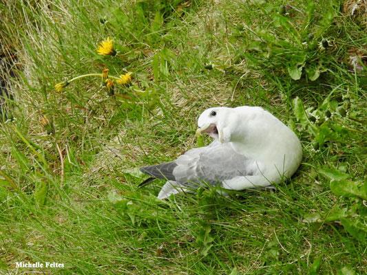 Fulmar boréal (Husavik Islande)