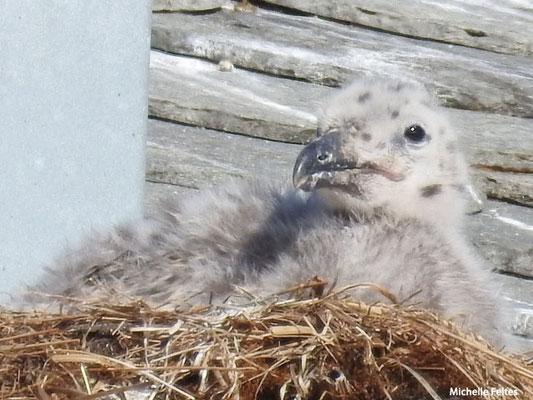 poussin de  goéland argenté (Tromso Norvège)