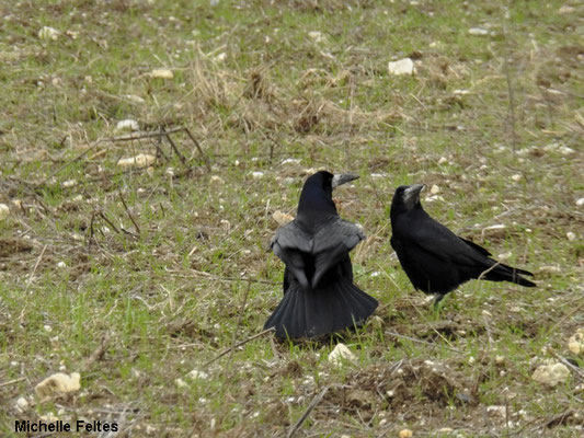 Corbeaux freux (Jablines)