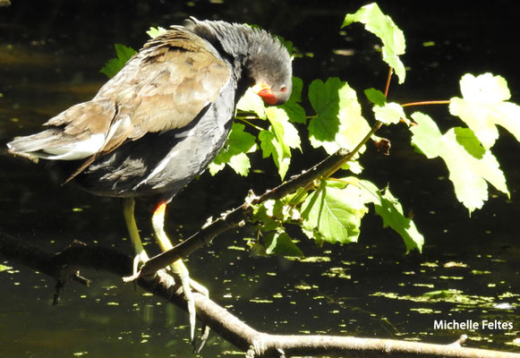 Gallinule poule-d'eau juvénile