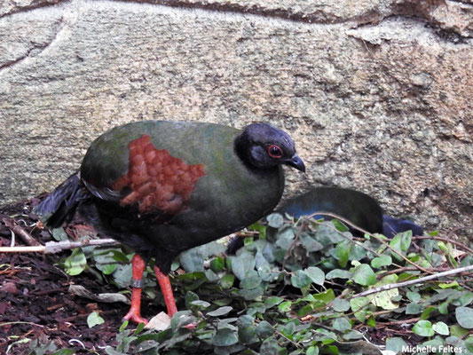 Rouloul couronné femelle Malaisie, Sumatra et Bornéo (Beauval)