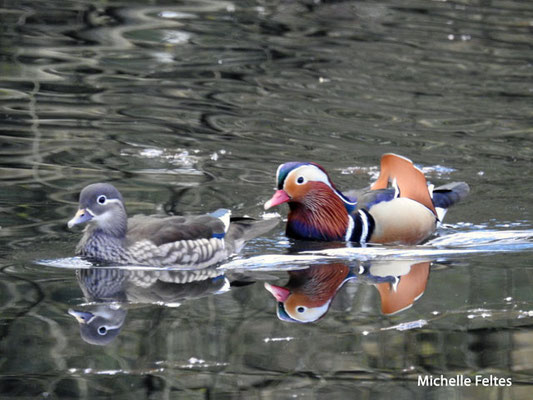 couple de Canard mandarin