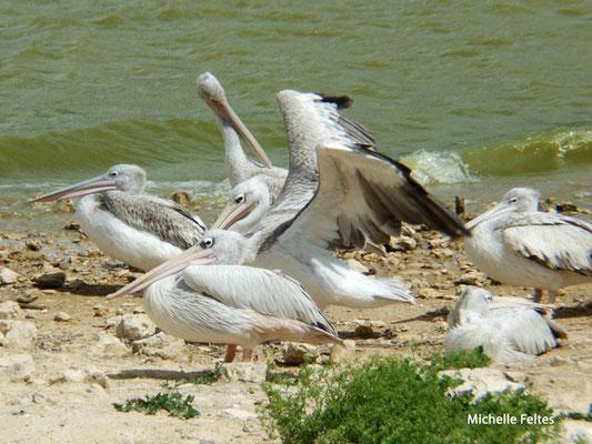 Pélicans gris (réserve naturelle de Sigean)