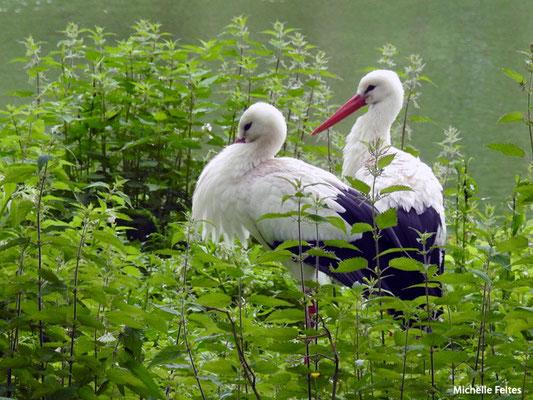 Cigognes blanches  (Biotropica Val de Reuil)