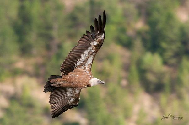vautour fauve (drôme)