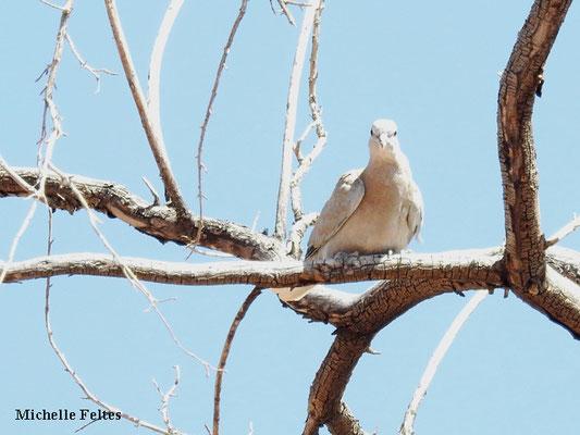 Tourterelle à ailes blanches (Calico)