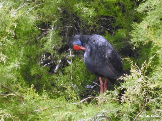 Talève sultane  (parc naturel de Donana Andalousie)