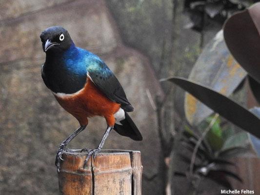 Choucador superbe (Beauval)