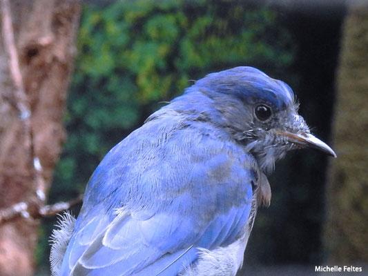 Merle bleu de l'Ouest (Beauval)