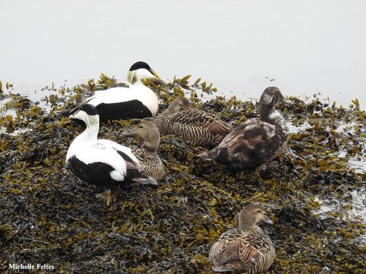 Eider à duvet (Höfn Islande)