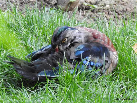 Canard carolin mâle (Beauval)
