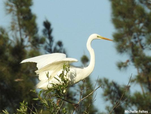 Grande aigrette   (parc naturel de Donana Andalousie)