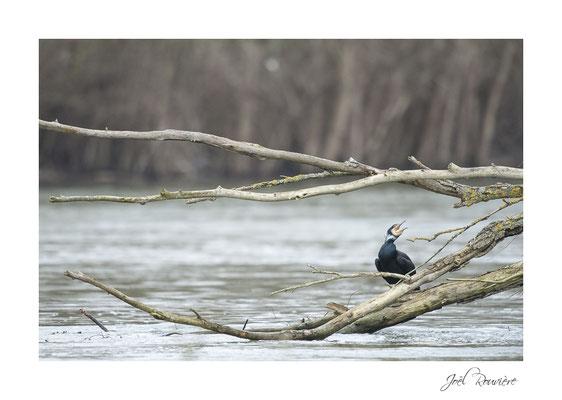 cormoran (bords de marne)
