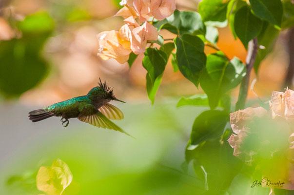 colibri (martinique)