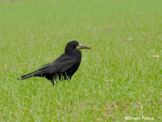 Corbeau freux (Vignely)