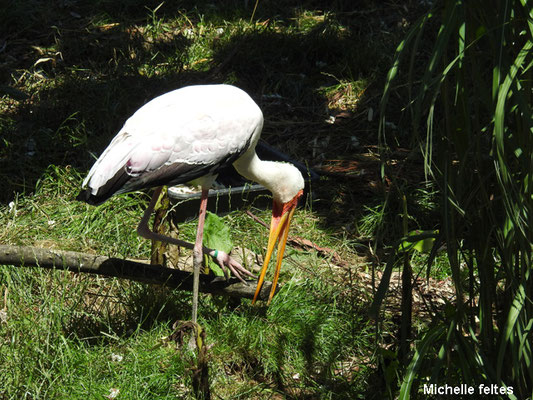Tantale ibis (Beauval)