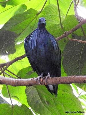 Pigeon femelle de Nicobar  (Biotropica Val de Reuil)