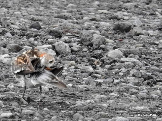 Phalarope à bec étroit mâle (lac Myvatn Islande)