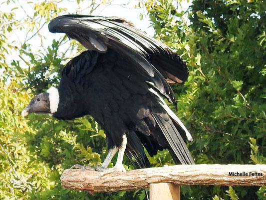 Condor des Andes (Beauval)