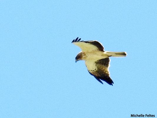 Aigle criard  (parc naturel de Donana Andalousie)