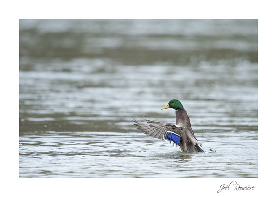 canard (bords de marne)