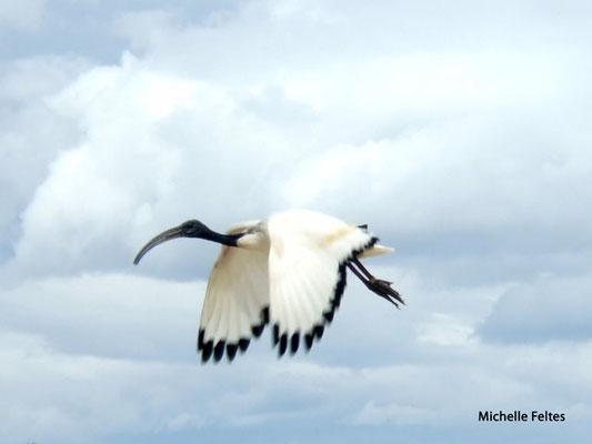 Ibis sacré (réserve africaine de Sigean)