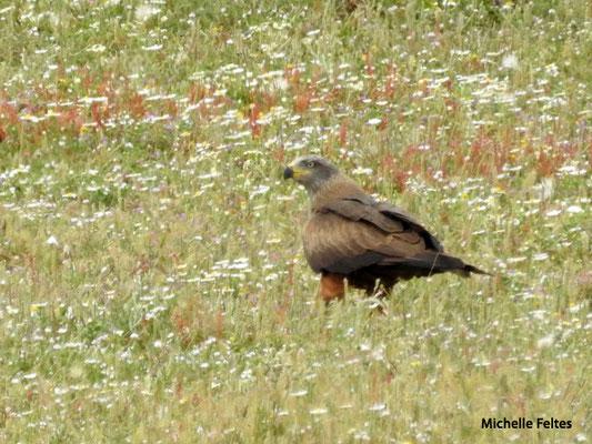 Aigle de Bonelli  (parc naturel de Donana Andalousie)