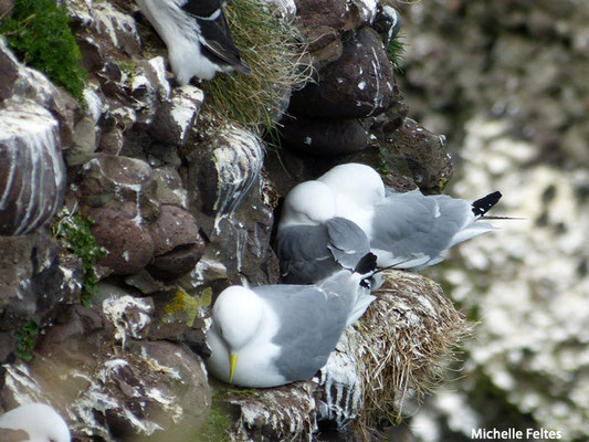 Mouettes tridactyles (Ecosse)