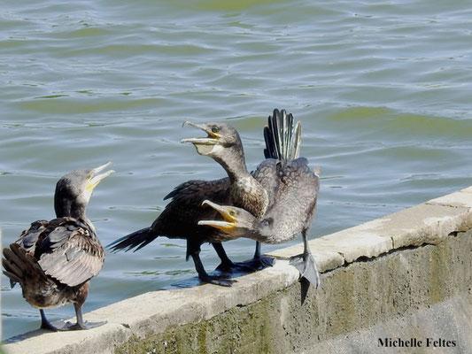 Grands cormorans (Lognes)