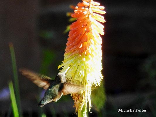 Colibri d'Anna (Cameron Arizona)