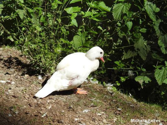 canard des Bahamas argenté (Beauval)