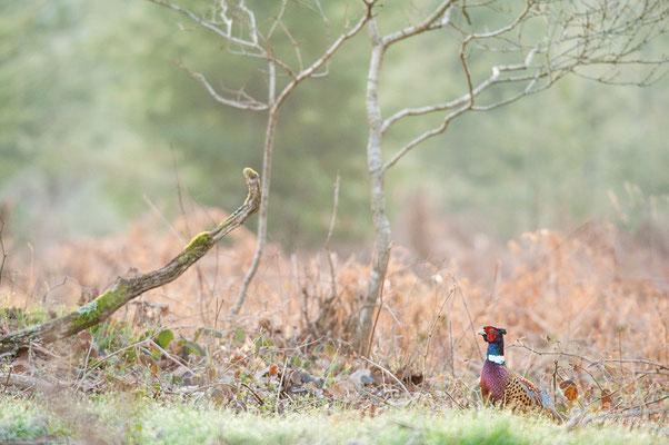 le coq chante en forêt  (seine & marne)