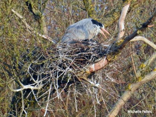 Héron cendré au nid