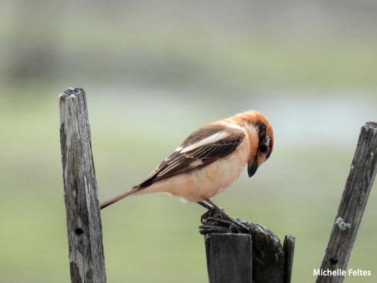Pie-grièche à tête rousse  (parc naturel de la Ria Formosa Portugal)