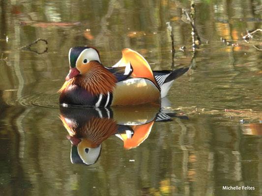 Canard mandarin