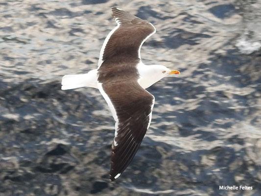Goéland marin ( (Cap Nord Norvège)