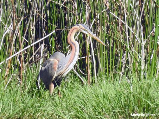 Héron pourpré  (parc naturel de Donana Andalousie)