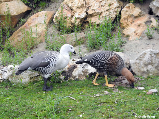 Ouettes de Magellan mâle et femelle (Amérique du Sud)  (Biotropica Val de Reuil)