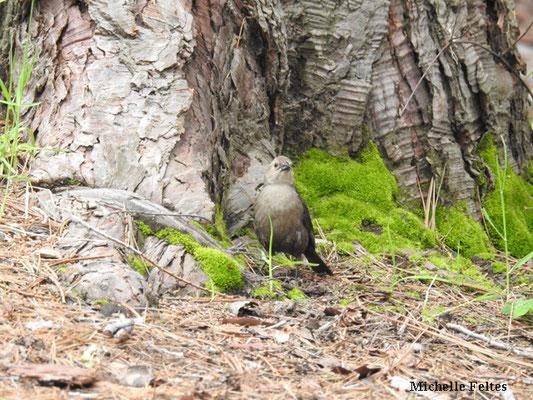 Cama brune (Chamaea fasciata) parc national Sequoia